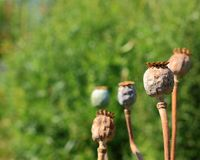 Opium poppy heads stock photos
