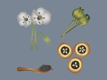 Opium poppy Royalty Free Stock Image