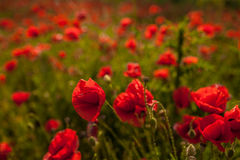 Opium poppy - macro Royalty Free Stock Image