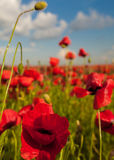 Opium poppy - macro Royalty Free Stock Images