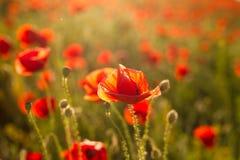 Opium poppy - macro Royalty Free Stock Photography
