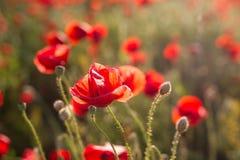 Opium poppy - macro Royalty Free Stock Photos