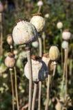 Opium poppy Stock Photos