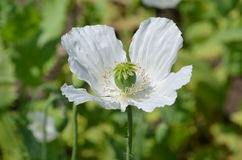 Opium Poppy (Papaver somniferum) Royalty Free Stock Photo