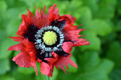 Opium poppy - Papaver somniferum Stock Images