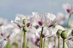 Opium poppy, Papaver somniferum Stock Images