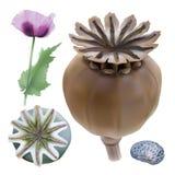 Opium poppy, Papaver somniferum. stock image