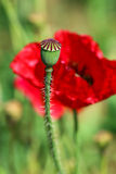 Opium Poppy,Papaver somniferum L.,flowers. Royalty Free Stock Images