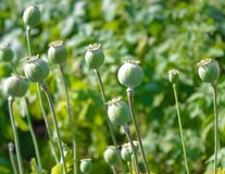 Opium poppy Papaver somniferum . stock image
