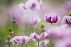 Opium Poppy. Papaver somniferum, the opium poppy, is a species of flowering plant in the family Papaveraceae. It is the species of plant from which opium and Royalty Free Stock Photos