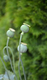 Opium poppy Royalty Free Stock Photography