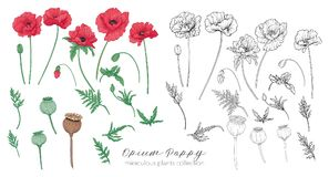 Opium poppy plant set. Colored and outline set stock vector illu stock illustration
