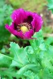 Opium poppy Royalty Free Stock Photography