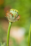 Opium poppy Stock Photos