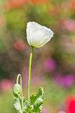 Opium poppy. It's kind of narcotic and not allowed to plant Stock Image