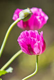 Opium poppy Stock Images