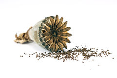 Opium poppy seed Stock Images