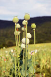 Opium poppy seed capsule Royalty Free Stock Photography