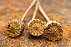 Opium poppy seed capsule Stock Image
