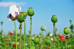 Opium poppy seed capsule and flower Stock Image