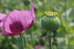 Opium poppy seed head and flower Royalty Free Stock Photography