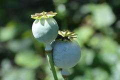 Opium poppy seed head. Royalty Free Stock Images