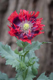Opium poppy Royalty Free Stock Images