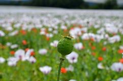 Opium poppyhead Stockfoto