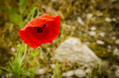 Opium. Red poppy alone in the nature Stock Images