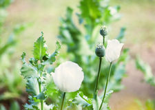 Opium and white opium poppy Stock Images
