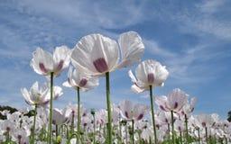 Opiumowi maczki zdjęcia stock