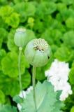Opiumowy maczek Obrazy Stock