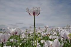 Opiumowy maczek Zdjęcie Royalty Free