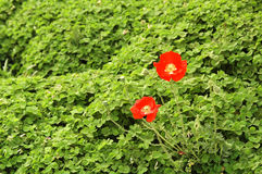 opiumowy maczek zdjęcia royalty free