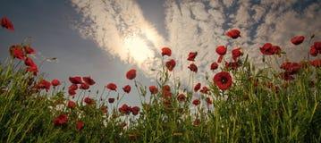 Opiumowy maczek, botaniczna roślina, ekologia zdjęcie stock