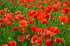 Opiumowy maczek, botaniczna ro?lina, ekologia obrazy royalty free