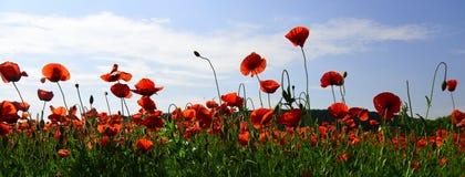 Opiumowy maczek, botaniczna ro?lina, ekologia zdjęcie stock