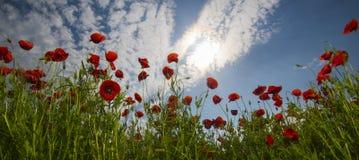 Opiumowy maczek, botaniczna ro?lina, ekologia fotografia stock