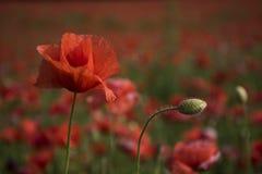 Opiumowy maczek, botaniczna ro?lina, ekologia zdjęcia stock