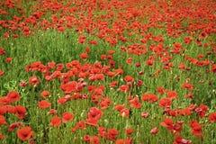 Opiumowy maczek Wspominanie dzień, Anzac dzień, spokój fotografia stock