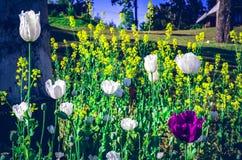 Opiumvallmo, är art av blomningväxten i familjen Royaltyfri Bild