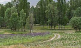 Opiumvallmo med purpurfärgat växa för blommor nära den naturliga Phrygiadalen parkerar kylskåpet Vadisi Tabiat Parki Afyonkarahis arkivfoton