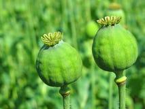 Opiumvallmohuvud Arkivfoto