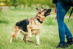 Opleidende Herder Brown German Shepherd op Gras Royalty-vrije Stock Foto