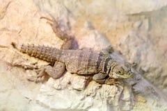 Oplurus cuvieri,抓住衣领口的iguanid蜥蜴, Madagascan抓住衣领口鬣鳞蜥 从亚洲, Calotes calotes,野生生物场面,非洲na的蜥蜴 库存照片