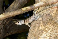 Oplurus cuvieri, tsingy de bemahara Royalty Free Stock Photo