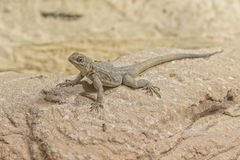 Oplurus fierinensis, iguana of madagascar Royalty Free Stock Images