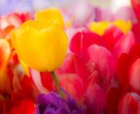 Opmerkelijke gele tulp in een bloembed Royalty-vrije Stock Afbeelding
