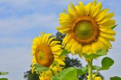 Opmerkelijke gele zonnebloemen op hemelachtergrond Royalty-vrije Stock Foto
