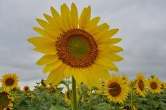 Opmerkelijke verse gele zonnebloemen Royalty-vrije Stock Afbeeldingen